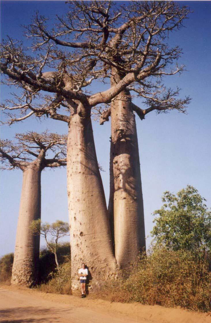 波巴布树1