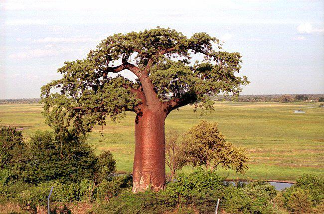 波巴布树2