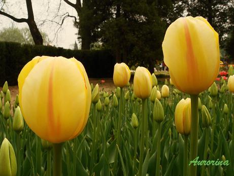 tulip02