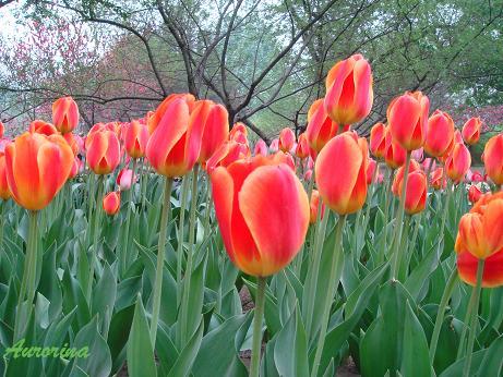 tulip17